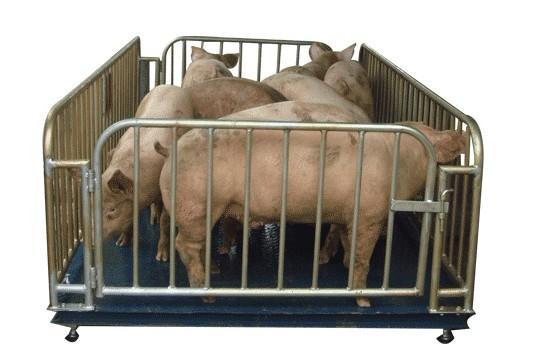 针对上述特点,专门为屠宰行业设计了可以用来称活体动物的SR系列牲畜秤,配合专门为牲畜屠宰业研发的专用称重终端,能有效地消除由于牲畜走动而产生的称重误差,完全可以达到屠宰行业的使用要求,可以准确可靠地完成进货贸易结算。该系统准确度高,称量迅速,工作稳定可靠。特别适用称量各种活牲畜。